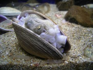 An ocellated (spotted) octopus using a clamshell as a shelter