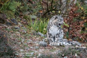 snow-leopard-1854934_640